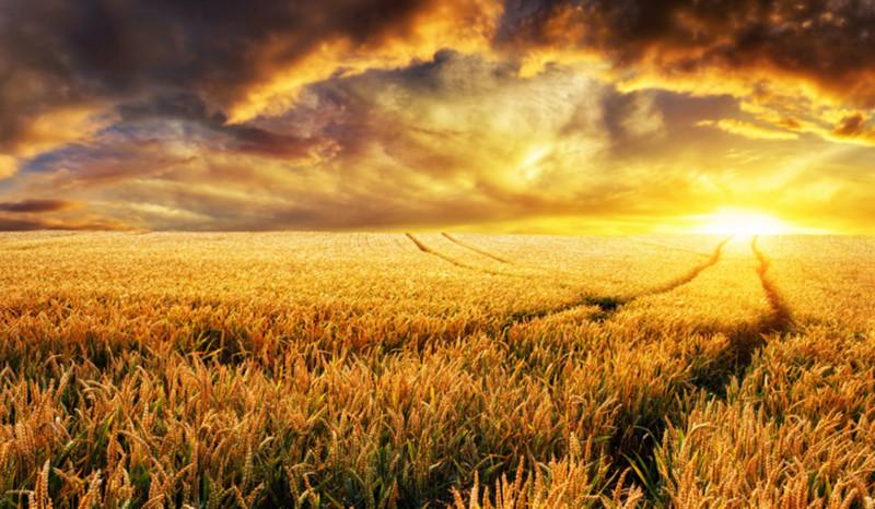 Weites Kornfeld bei Sonnenuntergang