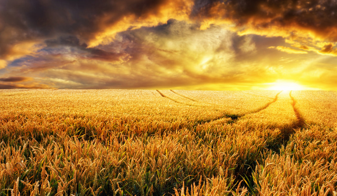 Ein weites Kornfeld mit untergehender Sonne.