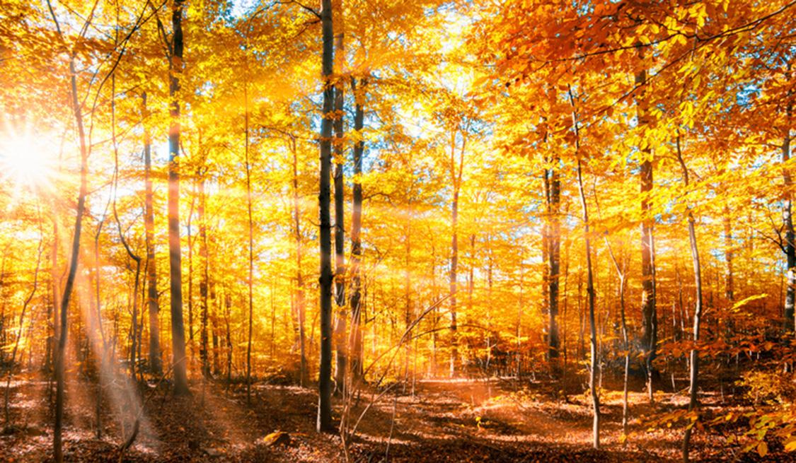 Sonnenstrahlen scheinen durch einen Herbstwald.